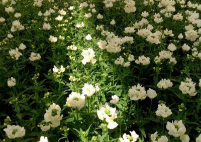 fleurs-pepiniere_1