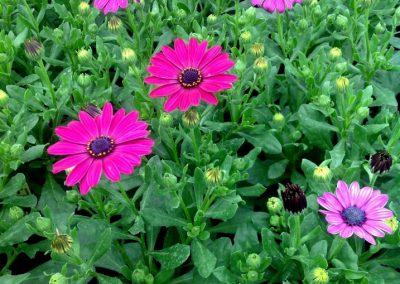 fleurs-pepiniere_2