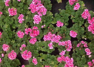 fleurs-pepiniere_3